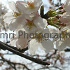 Sakura in Himeji Castle Grounds, Himeji, Hyogo-ken, Japan