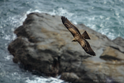 Black Kite - Enoshuma Island, Japan