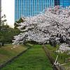 Hama-rikyu garden Cherry blossoms (Tokyo, JP)