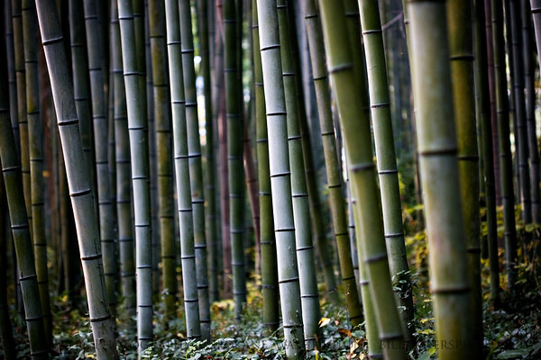 Bamboo Forest  Arashiyama, Kyoto, Japan.
