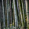 Bamboo Forest<br /> <br /> Arashiyama, Kyoto, Japan.