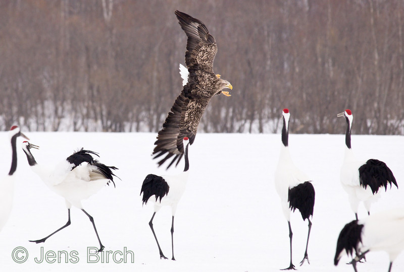 A white-tailed eagle has targeted a fish and goes in for a thrust.