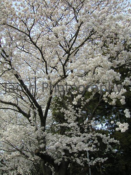 Gunma Sakura, Gunma-ken, Japan