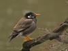 White-cheeked starling (japansk stare) (<i>Sturnus cineraceus</i>)