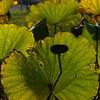 Lotus leaves at Sankeien gardens.