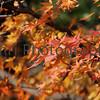 Autumn Leaves, Arashiyama, Kyoto, Japan