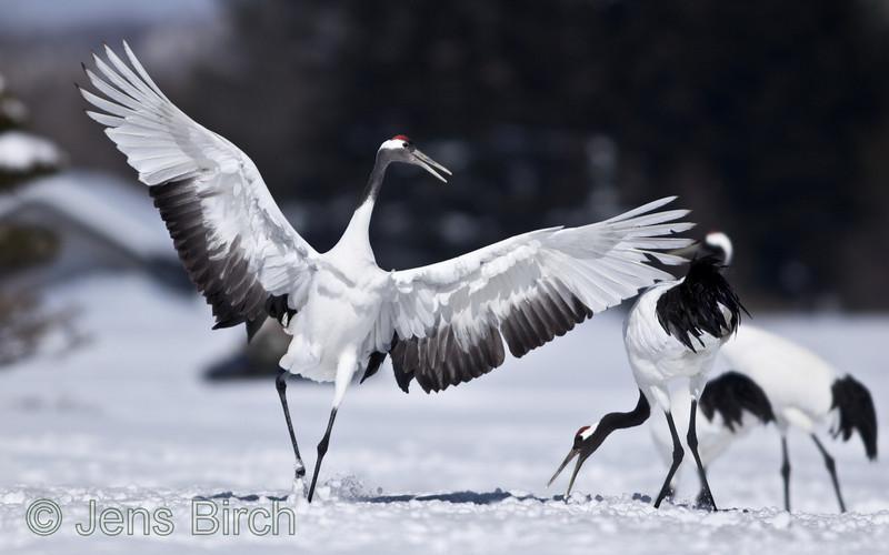 Dancing is also strengthening the pair.<br /> <br /> Akan, Hokkaido, Japan, February 2012
