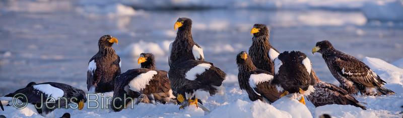 Steller's eagles (jättehavsörnar) Halieetus pelagicus