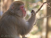"""""""Snow Monkeys"""" - the Japanese macaque - is the northern-most population of any species of monkeys. Here at Jigokudani."""