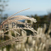 Pampas Grass, Shiga-ken, Japan
