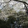 Sakura Branches, Gunma-ken, Japan