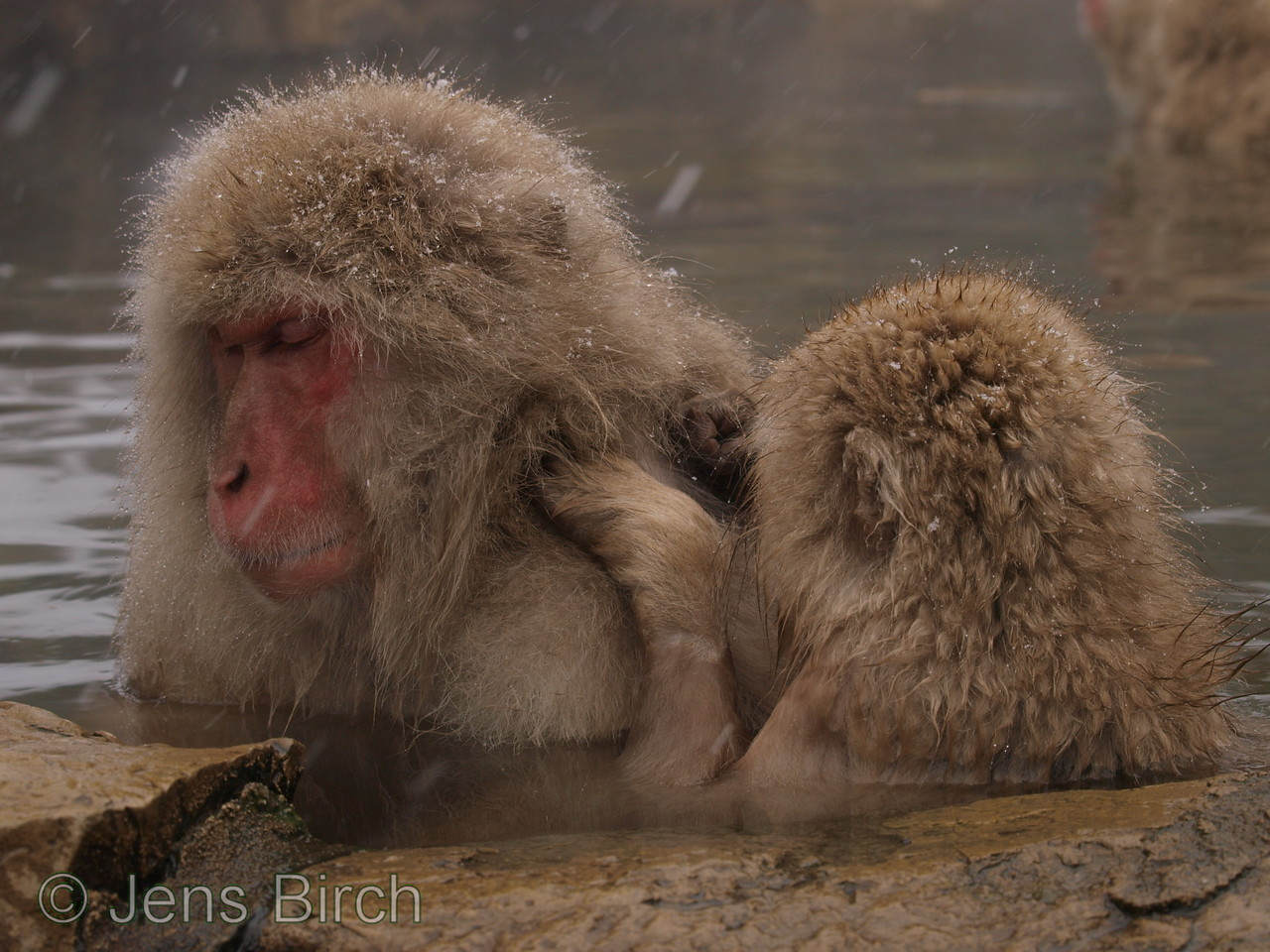 Young macaques have to groom the older ones to be allowed in the pool.