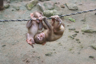 Baby monkeys in Beppu