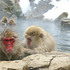 Snowmonkeys in a hot spring near Nagano.