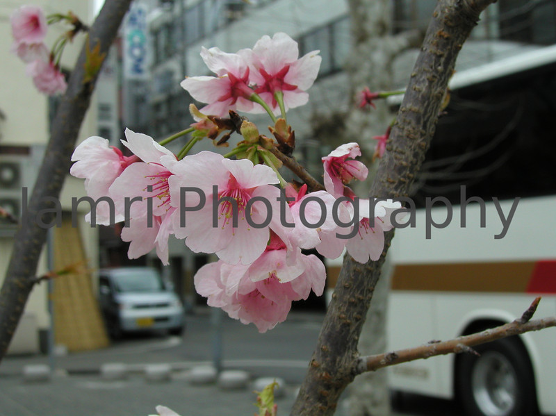 Sakura in the City, Himeji, Hyogo-ken, Japan