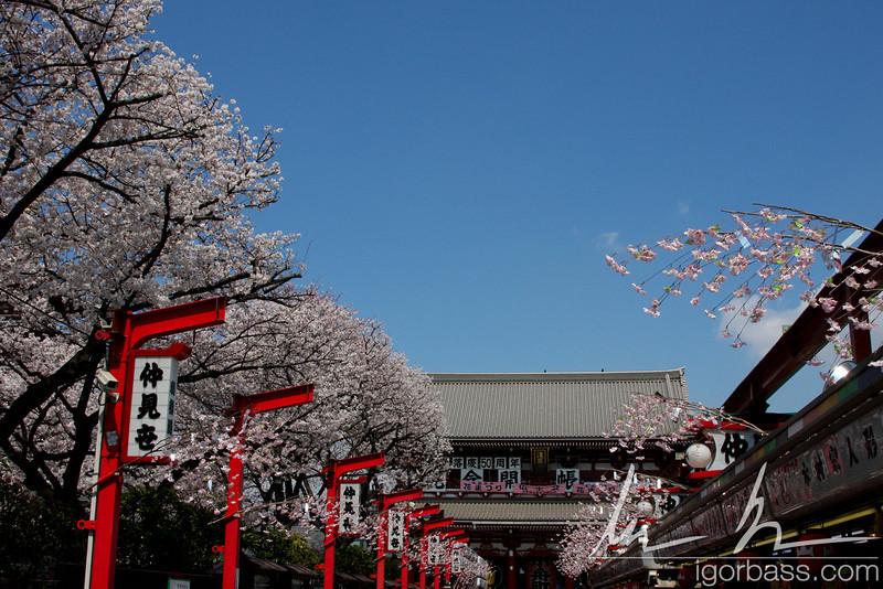 Path towards the Senso-ji Temple in Asakusa during Sakura season