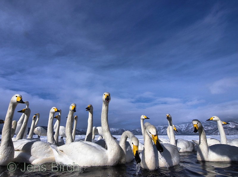 Wooper swans in lake Kussharo
