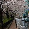 Cherry Blossoms in Mitaka City