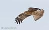 Blackeared kites (<i>Milvus migrans lineatus</i>)