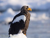 Just a few thousand Steller's eagles remain in the world..