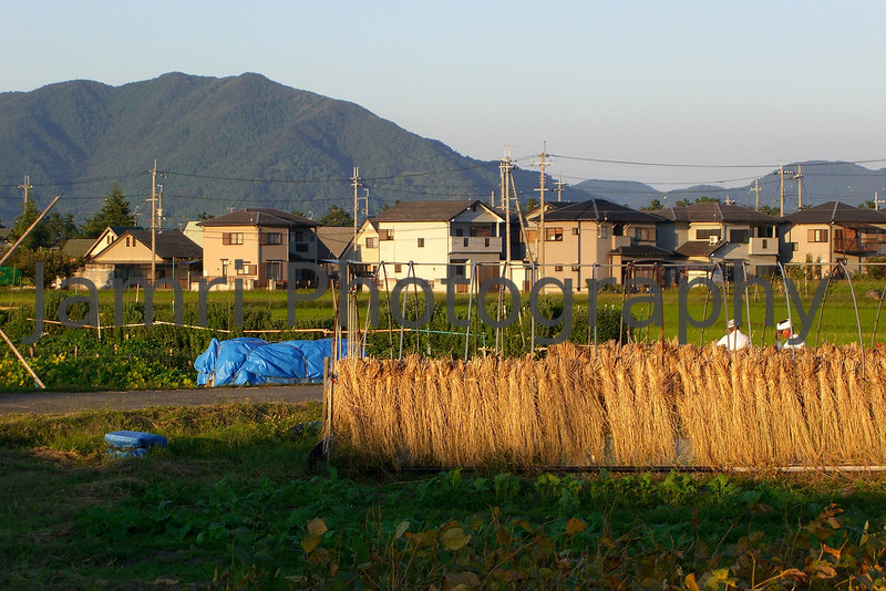Drying Straw, Omi-Imazu Countryside, Shiga-ken, Japan