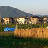 Drying Straw, Omi-Imazu Countryside, Shiga-ken, Japan
