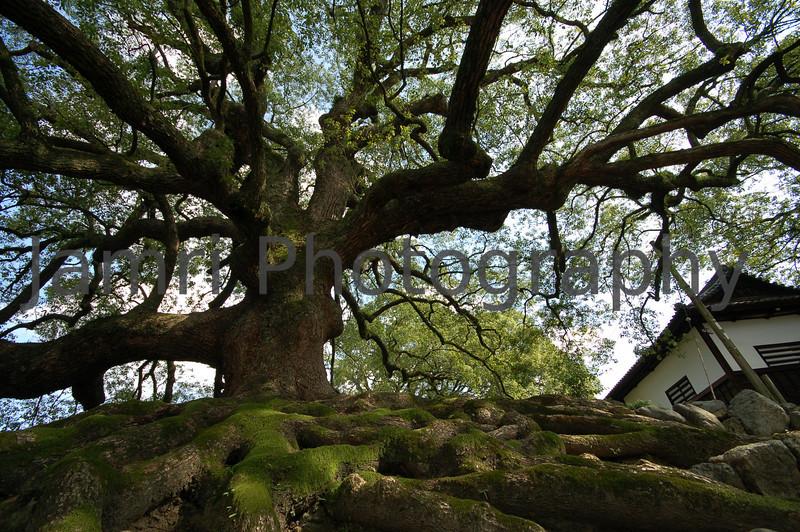 Gnarled Tree, Kyoto, Japan