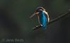 Kingfisher (kungsfiskare) (<i>Alcedo atthis</i>)