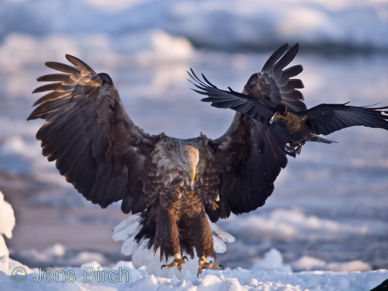 White-tailed eagle landing on the pack ice.