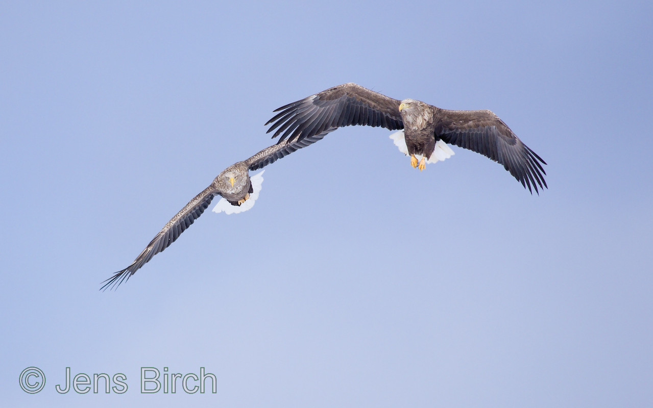 A couple of white-tailed eagles arrives to the crane feeding grounds.
