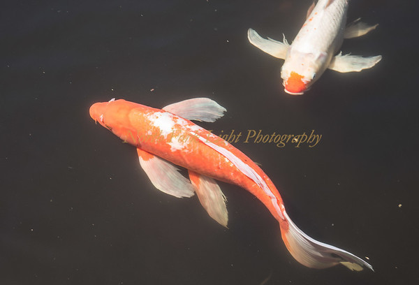 Koi decorate the garden pond