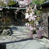 Shidare-zakura upclose, Arashiyama, Kyoto-fu, Japan