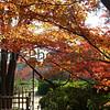 Maples, Nagaokakyo, Kyoto-fu, Japan
