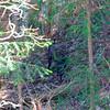 Japansk serov,  (Capricornis crispus) Japanese serow