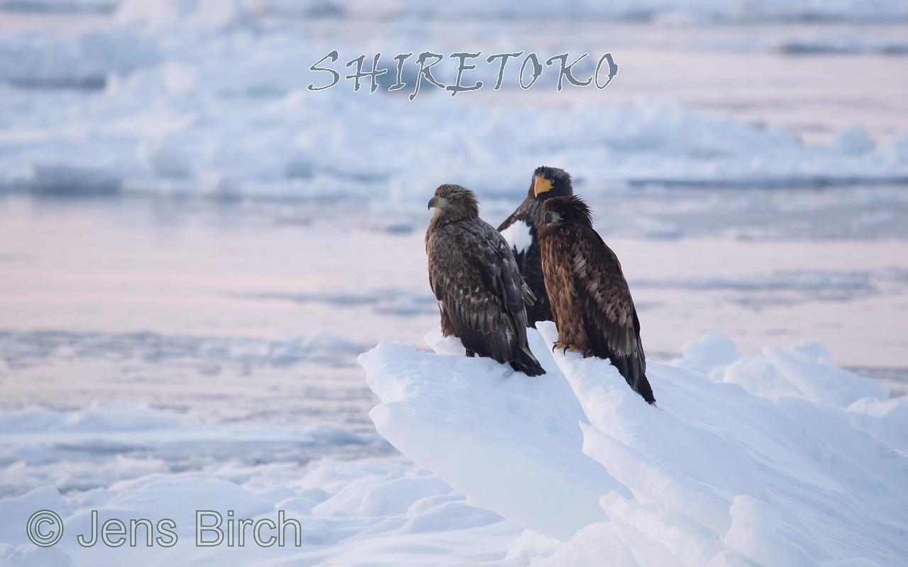 In February, sea eagles gather on the pack ice off of the coast of the Shiretoko peninsula.