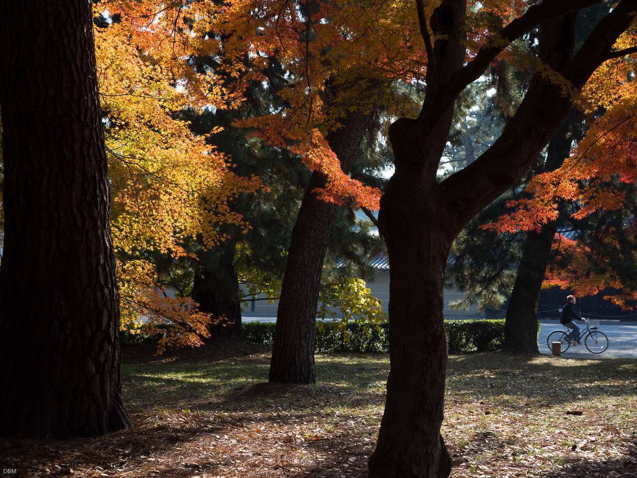 Still in the Imperial Gardens; you can ride bikes there. This is the Season of the Red Leaves when most of Japan comes to Kyoto to look at red leaves. You see people with twenty grands worth of camera pointing them at red leaves on every street corner.