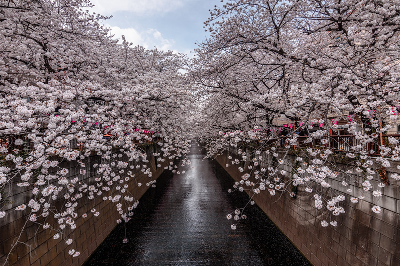 Framed by Blossoms || Nakameguro