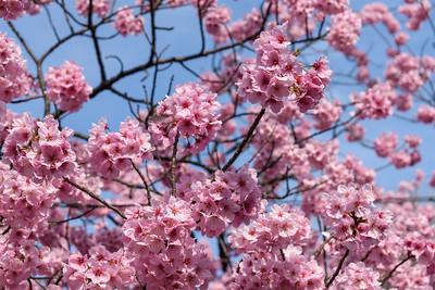 Cherry blossom || Ueno Park