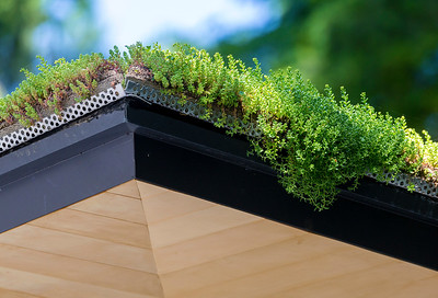 The greenery on a roof spills over the eaves
