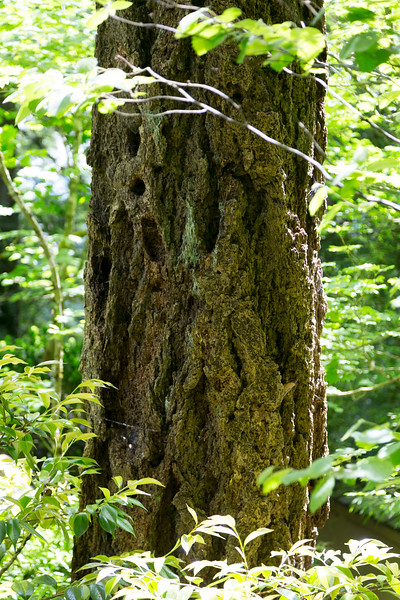 A Douglas Fir trunk