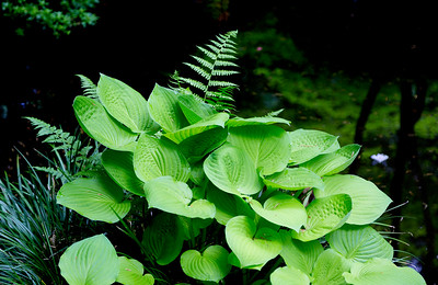 Hostas and fern