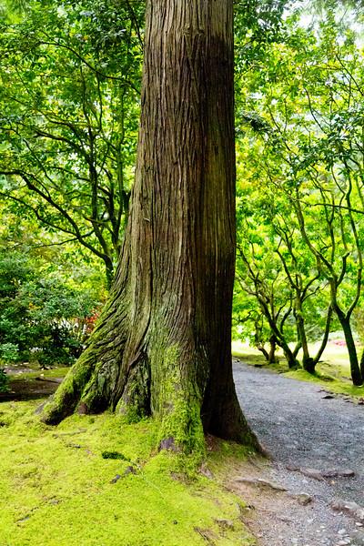 Western Cedar trunk