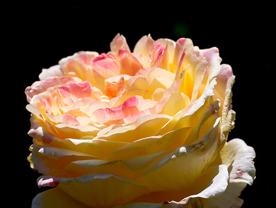 Rose No. 3
