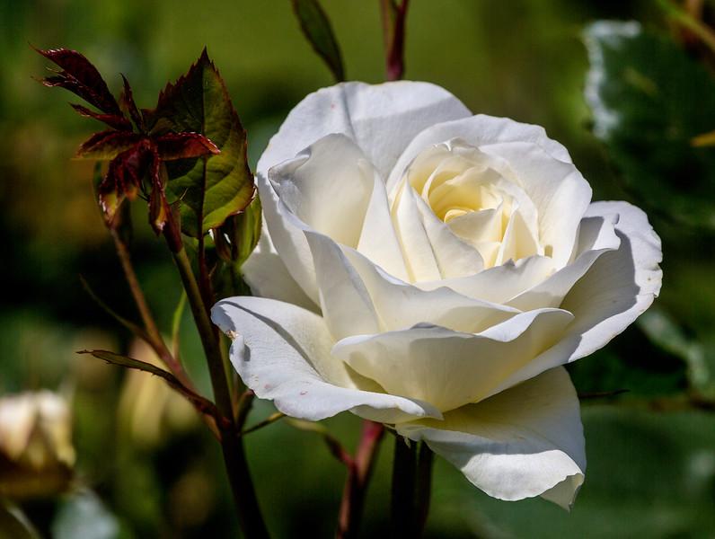 Rose No 2