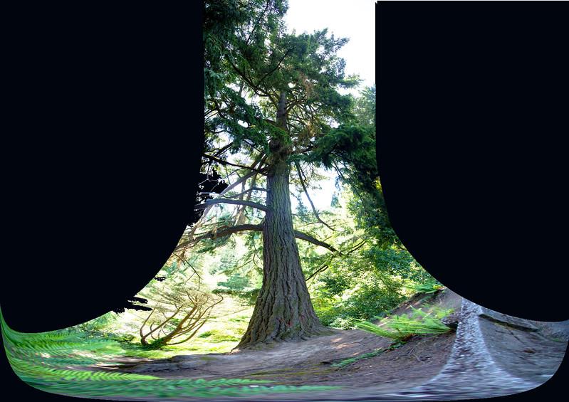 The entire Douglas Fir tree
