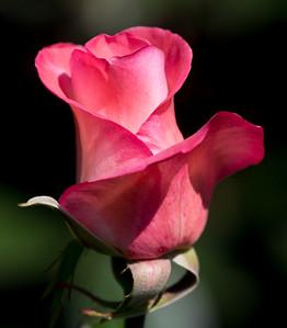 Rose No. 4