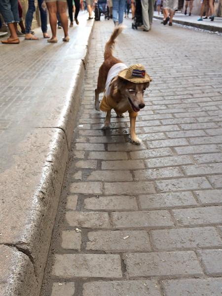 Old Havana Dog
