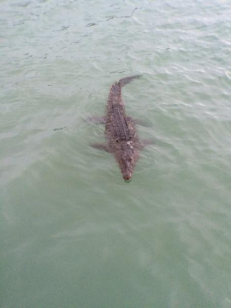 American Saltwater Crocodile
