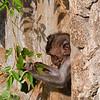 Crab-eating Macaque (Macaca fascicularis) a.k.a. Kera