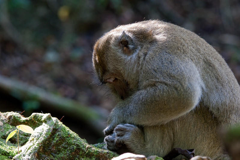 Crab-eating Macaque (Macaca fascicularis) a.k.a. Kera